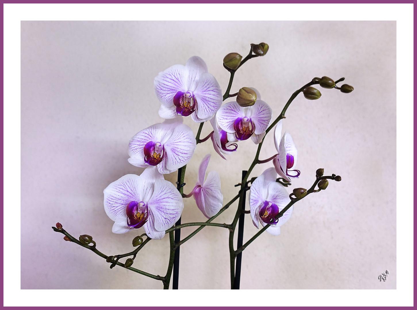 En douceur .... les orchidées