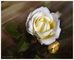 En la rosaleda