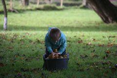 ...En Normandie, récolte artisanale..des pommes..