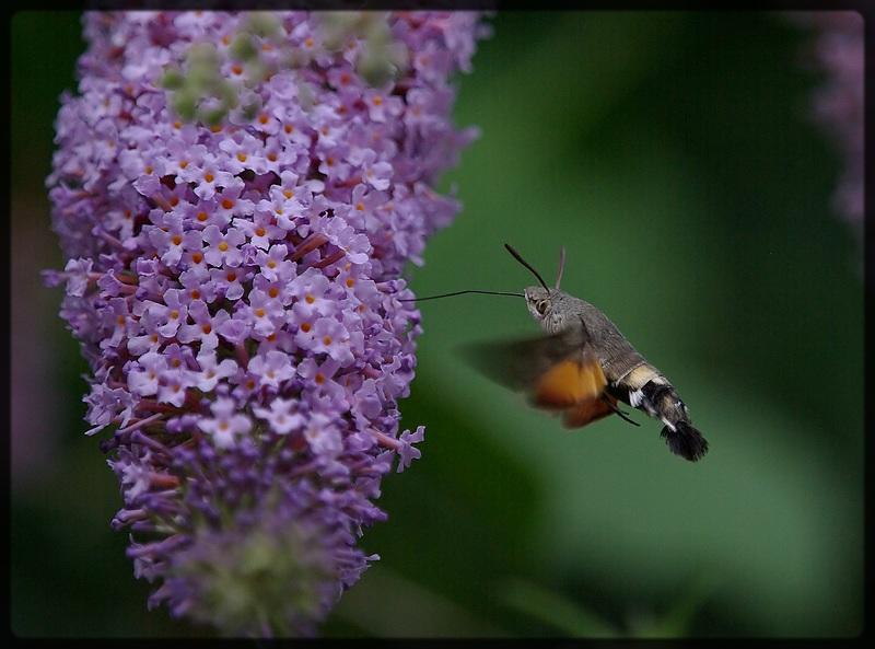 en plein vol (papillon, Sphinx)
