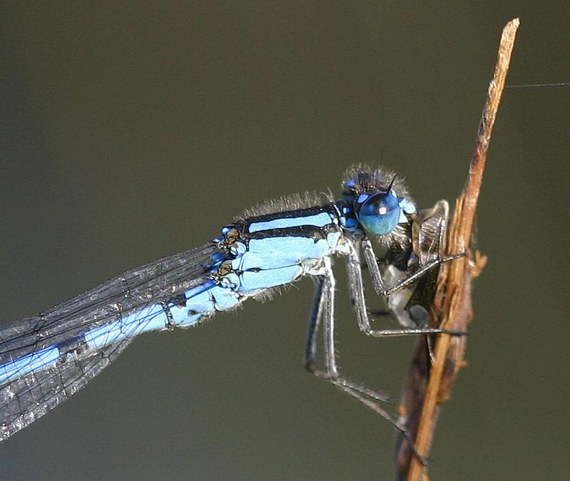 Enallagma cyathigerum male eating - Common Blue Damselfly male eating
