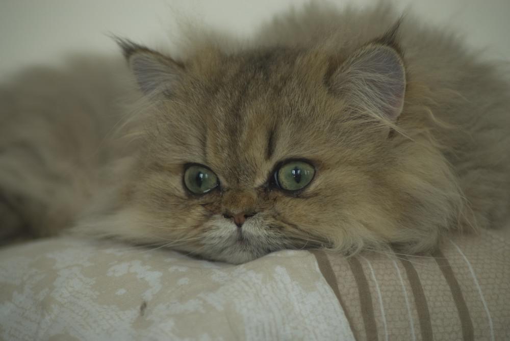 encore chat pacha (de ma fille)