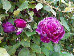 ..Encore de belles roses..