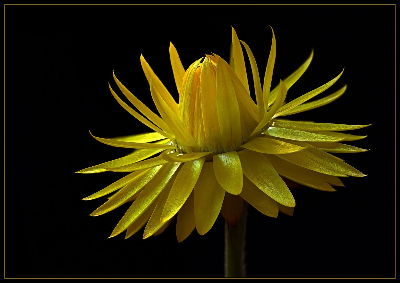 Ende Oktober fehlt die Sonnenkraft um die Blüte ganz zu öffnen