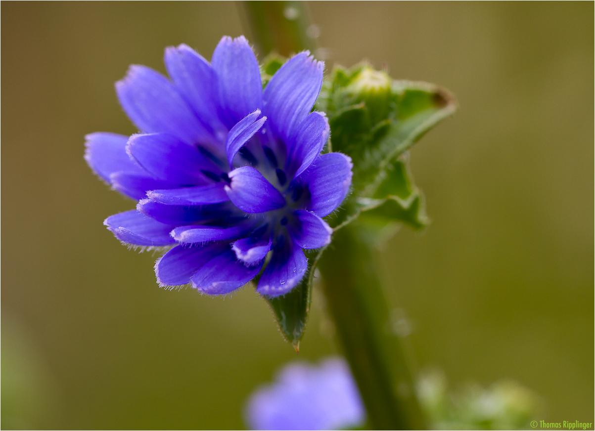Endivie (Cichorium endivia)..