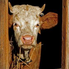 Endlich einmal eine Schweizer Kuh!