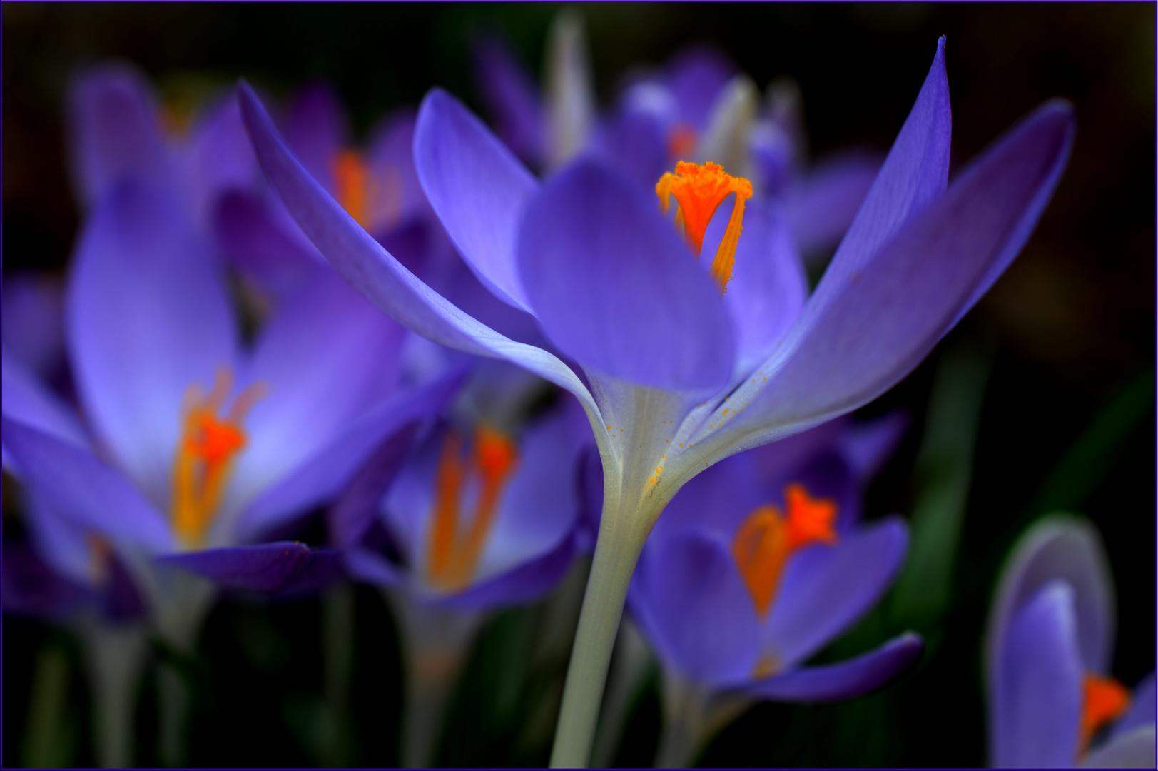 Gemeinsame Endlich Farbe~~ Foto & Bild | jahreszeiten, frühling, krokus blau &TH_44