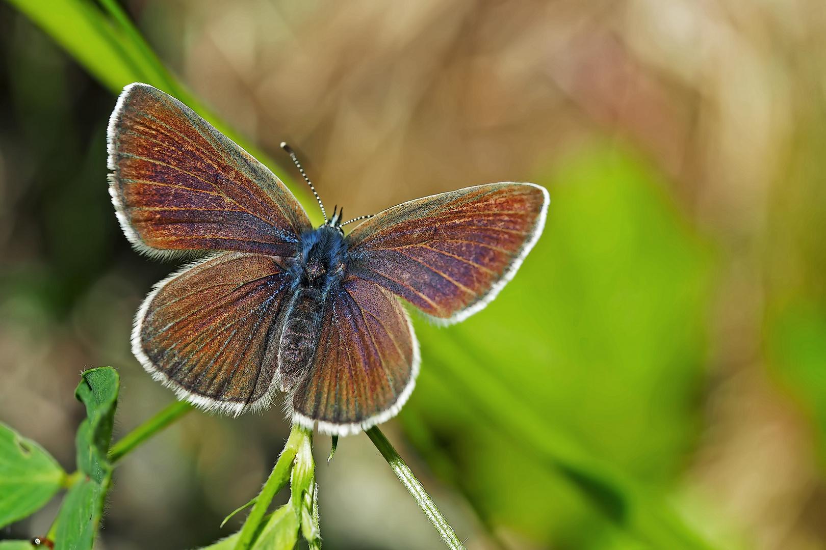 Endlich hat er seine hübschen Flügel geöffnet! - Un papillon qui se montre dans toute sa splendeur!