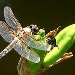 Endlich mal `ne Libelle