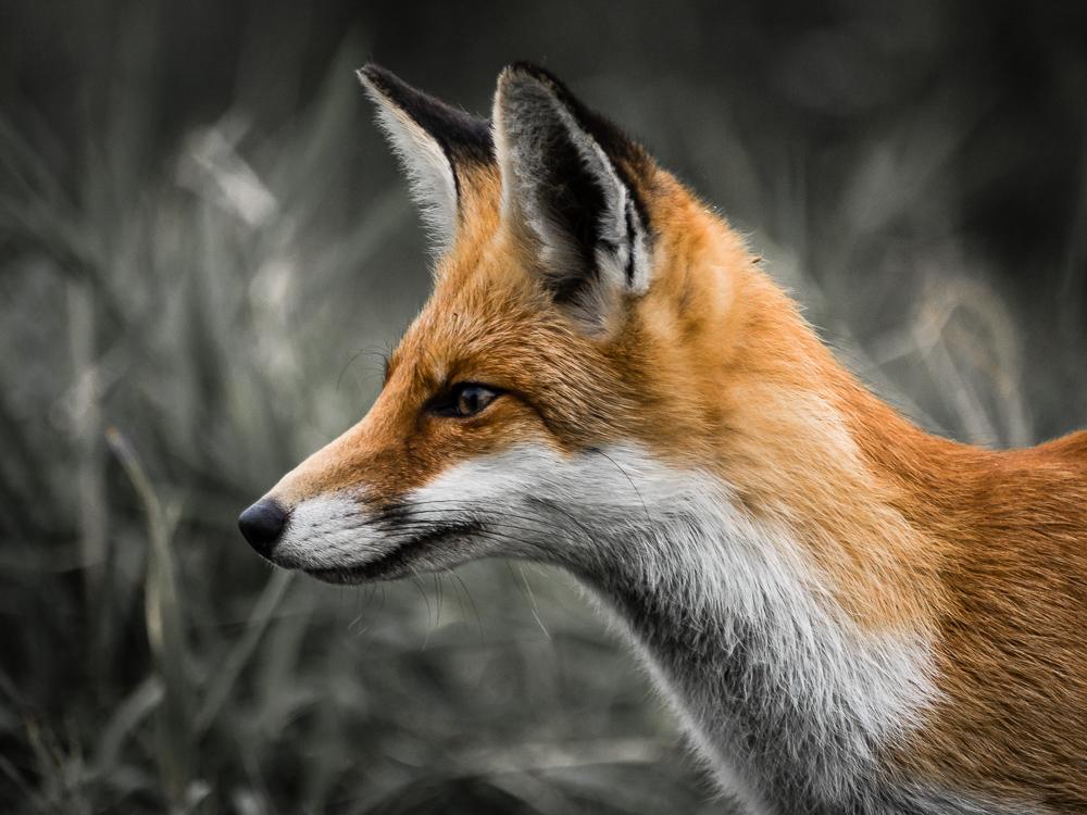 Endlich - mein erster Fuchs