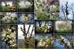Endlich wieder Kirschblüte