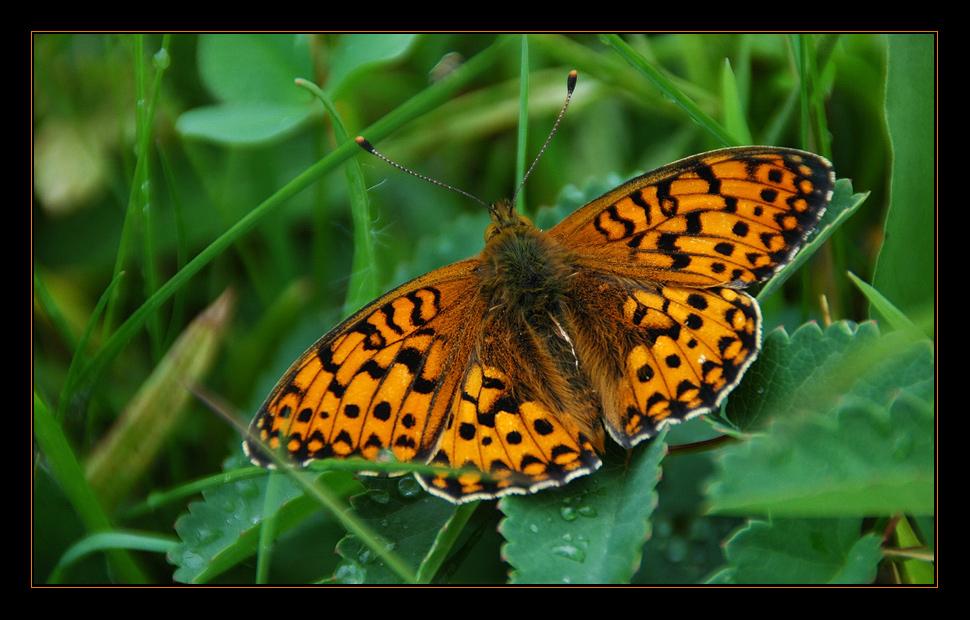 Engadiner Schmetterling