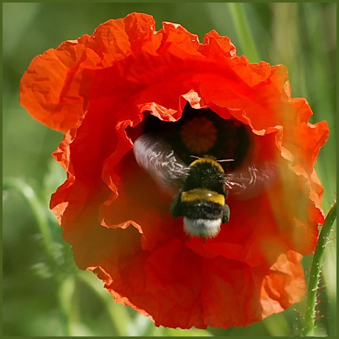 Englisch Opium Poppy Franzsisch Coquelicot Hindi Khas Khas