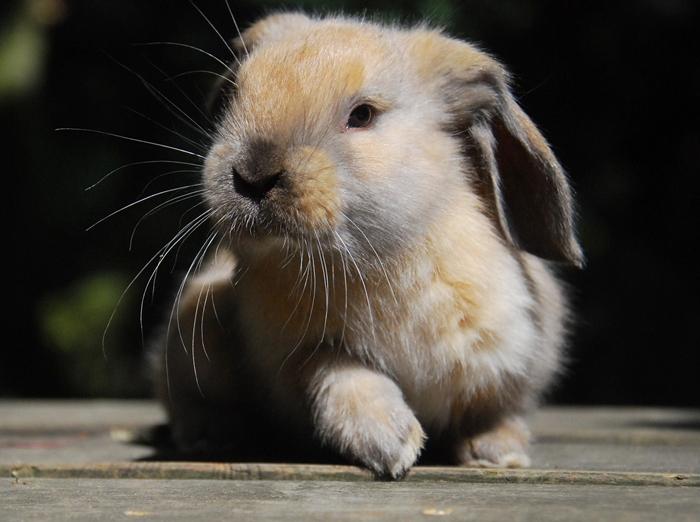 englisch widder mix foto bild tiere haustiere nagetiere kaninchen bilder auf fotocommunity. Black Bedroom Furniture Sets. Home Design Ideas