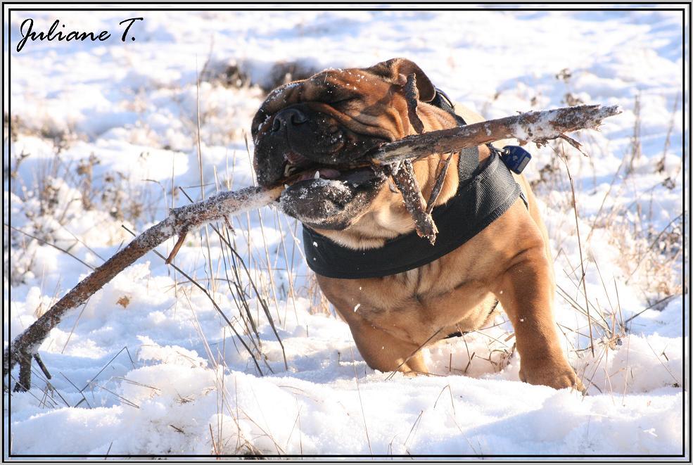 englische bulldogge...