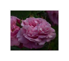 Englische Rose....