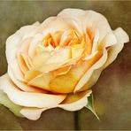 Englische Rose...