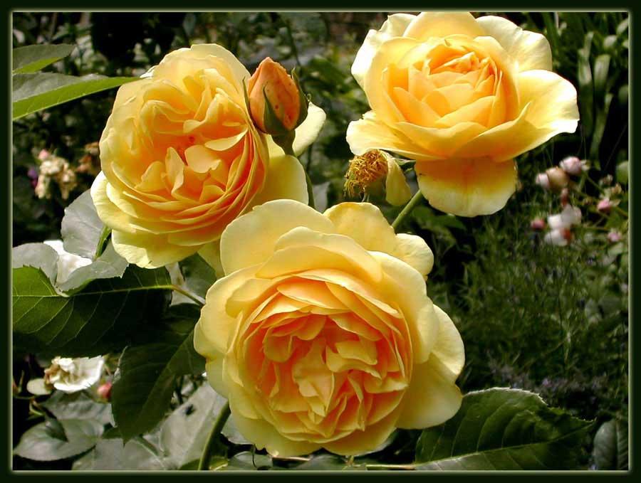 Englische Rose 'Graham Thomas'