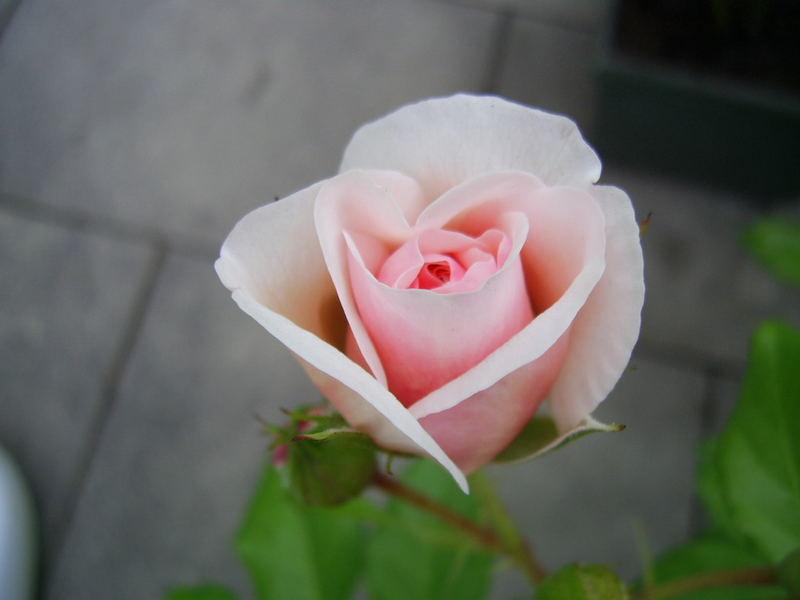 "Englische Rose ""Heritage"""