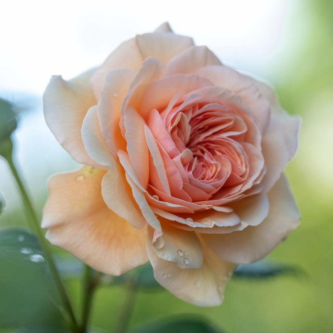 englische Rose nach dem Regen