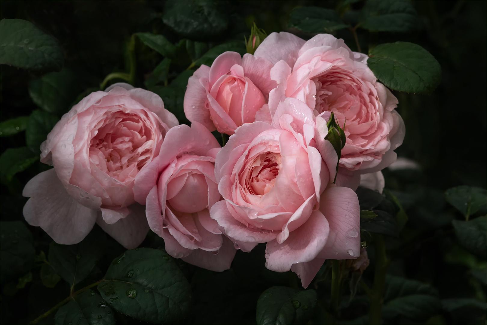 Englische Rosen....