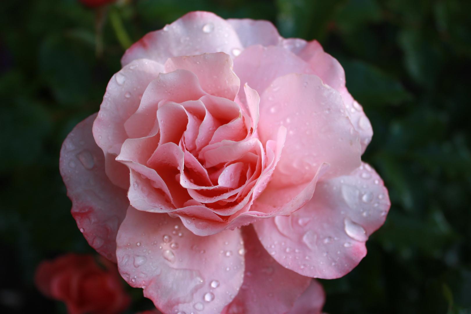 ...englische Rosen...