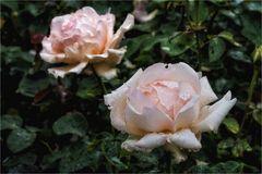 Englische Rosen im Regent's Park