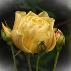 English Tea Rose