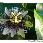 Ensaio sobre flores IV - Maracujá (Passiflora)