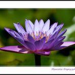 Ensaio sobre flores VI - Nenúfar