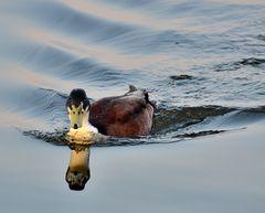 Ente am Morgen vertreibt Kummer und Sorgen ....