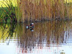 Ente am Wasserrand