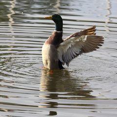 Ente auf dem Bruchsee