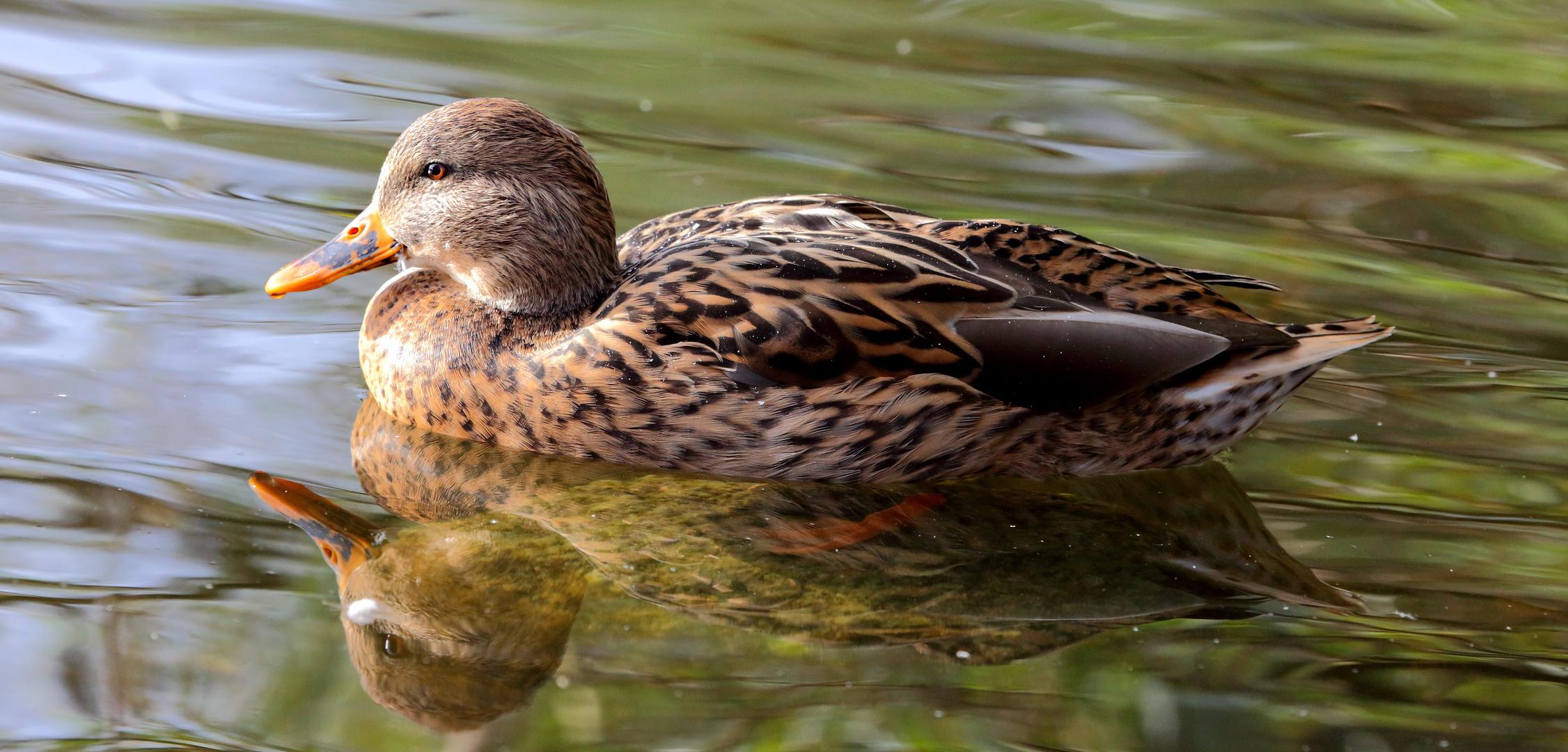 Ente auf dem Bruchsee (II)