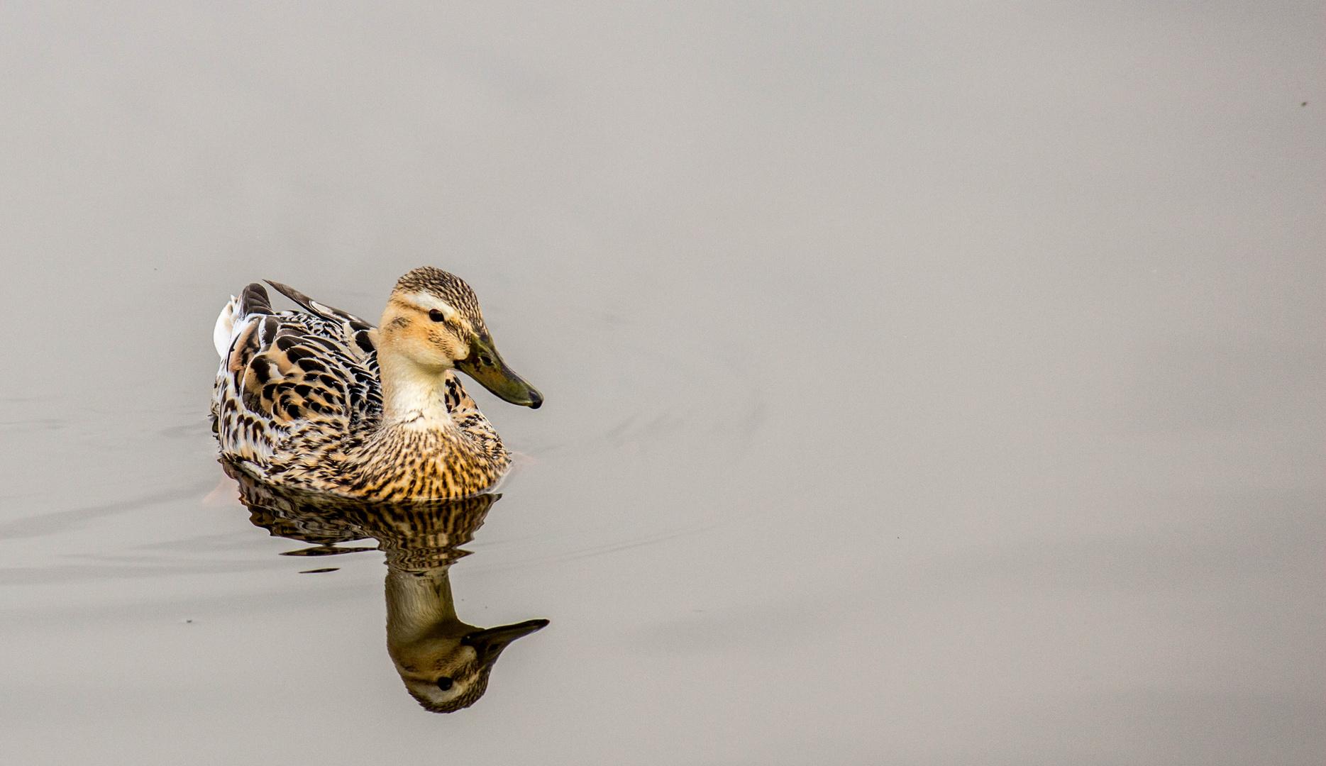 Ente auf dem Schlossteich in Gifhorn