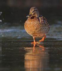 Ente auf Eis ...