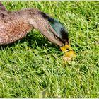 Ente beim Fressen