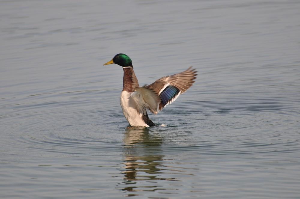 Ente beim Frühsport