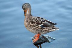 Ente beim Schick machen :)