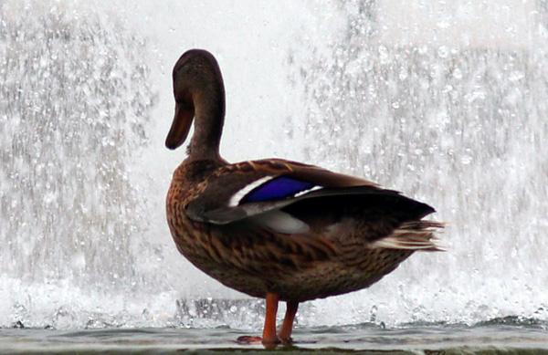 Ente beobachtet Springbrunnen