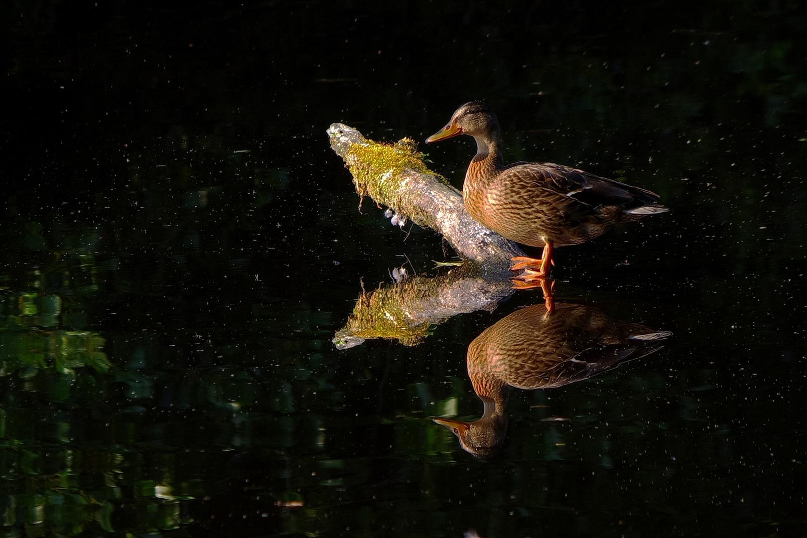 Ente gespiegelt