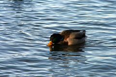 Ente im Steinhuder Meer #2