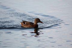 Ente im Steinhuder Meer
