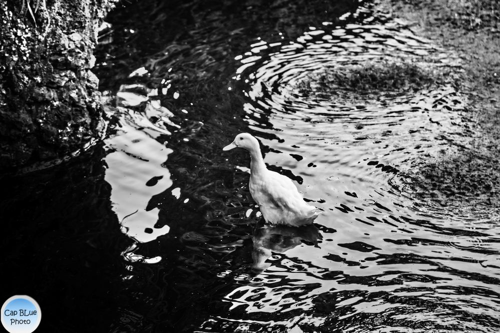 Ente im Teich des kleinen Parks nahe Convento de Sao Francisco