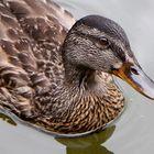 Ente im Wasser - Bayerischer Wald