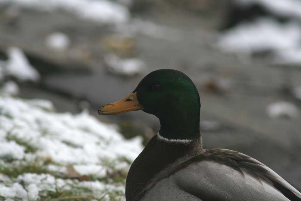 Ente im Winter (Schnappschuß)