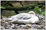 Ente in weiß
