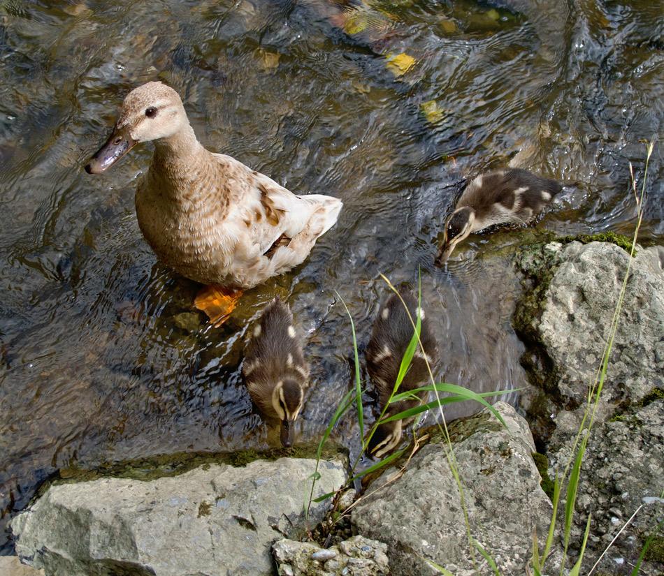 Ente mit Küken am Ufer der Mur!