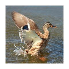 Ente oder Wente