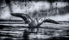 Ente rettet sich vor Flusspferd